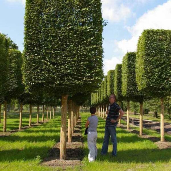 StedelijkGroen leibomen vormbomen struiken